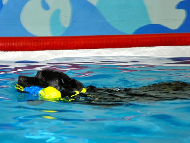 Cane che nuota in piscina con gioco in bocca