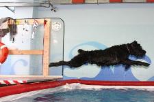 Cane si tuffa in piscina al via dell'istruttore