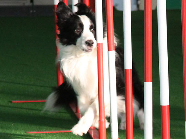 Border collie mentre fa lo slalom tra i pali