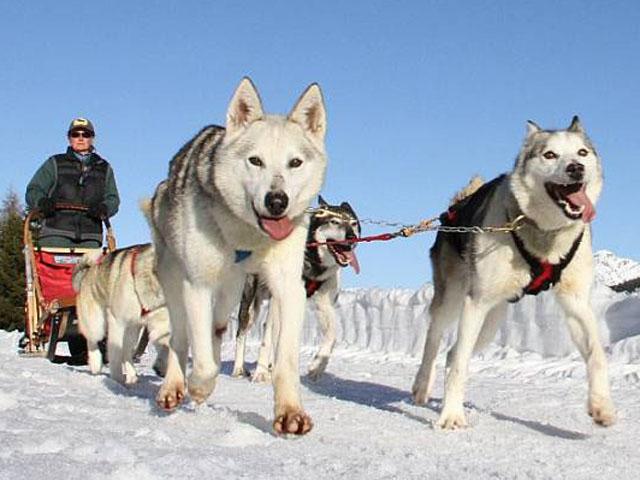 Primo piano di cani husky mentre trainano una slitta sulla neve