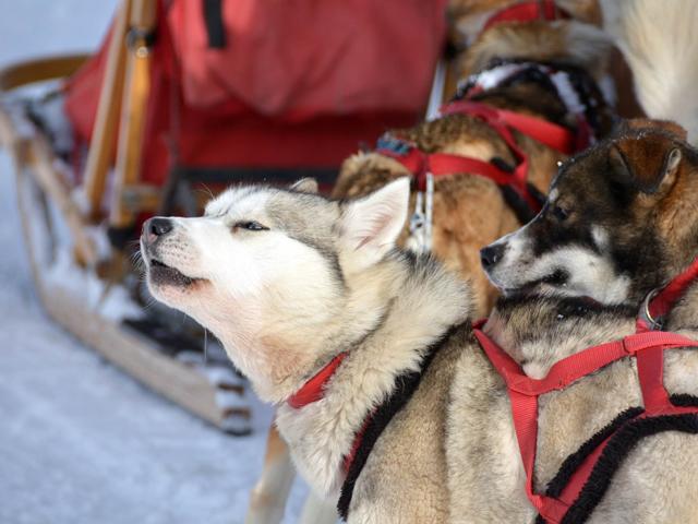 Primo piano di due husky in un momento di sosta