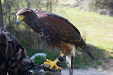 primo piano di un falco appoggiato sul braccio di un istruttore