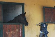 Cavallo affacciato dal box