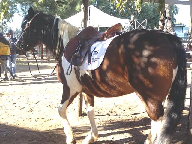 Cavallo con sella e finimenti pronto per la lezione